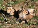 Red_Fox_5989758_carver.jpg
